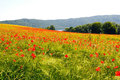 Poppy field in near of volcano Laacher See lake. Royalty Free Stock Photo