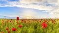 Poppy field in one of the regions of Azerbaijan