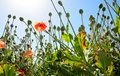 Poppy field poppyhead in the view from the ground Royalty Free Stock Photography