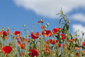 Poppy field with red flowers and a blue sky with clouds Royalty Free Stock Photo