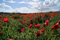 Poppy field in spring Stock Image