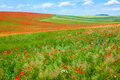 Poppy field in summer Royalty Free Stock Photos