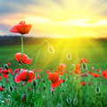 Poppy field at sunset against the setting sun Royalty Free Stock Images