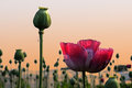Poppy field at sunset Royalty Free Stock Photo