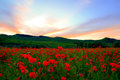 Poppy field in sunset Royalty Free Stock Photo