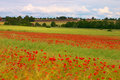 Poppy Fields Stock Images