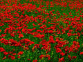 Poppy fields Royalty Free Stock Photos