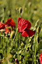Poppy flower on a blurred background fields Royalty Free Stock Images