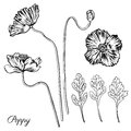 Poppy flower, bud, leaves vector engraving sketch hand drawn iso Royalty Free Stock Photo