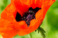 Poppy flower close up flowers papaver rhoeas in spring Royalty Free Stock Photography
