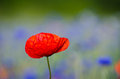 Poppy flower closeup Royalty Free Stock Photo