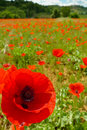 Poppy flower and field near certaldo tuscany italy Stock Photography