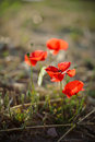 Poppy flower on greek island Stock Photo
