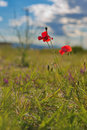 Poppy flower on greek island Royalty Free Stock Image