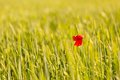 Poppy flower growing on cereal field Royalty Free Stock Photo