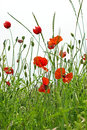Poppy flower in high green grass Royalty Free Stock Image