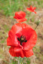 Poppy flower meadow outdoors macro closeup Royalty Free Stock Image