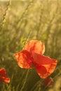 Poppy flower in a morning sunshine field Stock Images