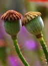 Poppy flower pods Royalty Free Stock Photo