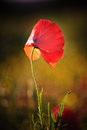 Poppy flower portrait Royalty Free Stock Image