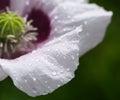 Poppy flower with raindrops Royalty Free Stock Photo