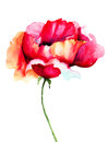 Poppy flower red watercolor illustration Royalty Free Stock Image