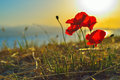 Poppy flower at sunrise on greek island Royalty Free Stock Images