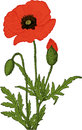 Poppy flower. Vector Royalty Free Stock Images