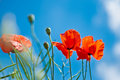 Red Poppies in Blue Sky Royalty Free Stock Photo