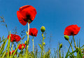 Poppy flowers. Stock Photos