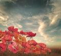 Poppy flowers Imagen de archivo libre de regalías
