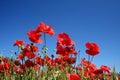 Amapola flores