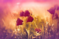 Poppy flowers beautiful in a meadow Stock Photography