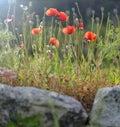 Poppy Flowers In Bloom