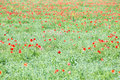 Poppy flowers field as a background closeup Royalty Free Stock Photo