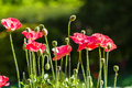 Poppy flowers field at doi angkhang chiangmai thailand Royalty Free Stock Image