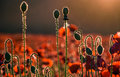 Poppy flowers field music notes concept Royalty Free Stock Photo
