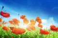 Poppy flowers on field and sunny day Stock Photography