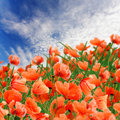 Poppy flowers, green grass and cloudy blue sky Royalty Free Stock Photo