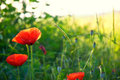 Poppy flowers in meadow Stock Photo
