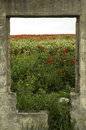Poppy flowers in meadow scenic view of blooming viewed through gap ruined building Royalty Free Stock Photo