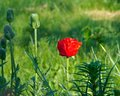 Poppy flowers papaver rhoeas in summer Royalty Free Stock Photos