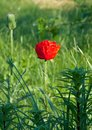 Poppy flowers papaver rhoeas in summer Royalty Free Stock Photo