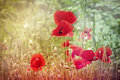Poppy flowers and poopy pods in meadow Stock Image