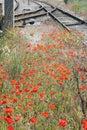 Poppy Flowers And Railway Tracks