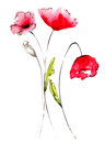 Poppy flowers red watercolor illustration Royalty Free Stock Image