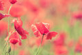 Poppy flowers retro peaceful summer background Royalty Free Stock Photo