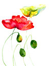 Poppy flowers summer watercolor illustration Royalty Free Stock Photo