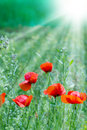 Poppy flowers wild flower in a meadow lit by sunny beams Stock Photography