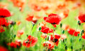 Poppy flowers wild in spring and summer Royalty Free Stock Image